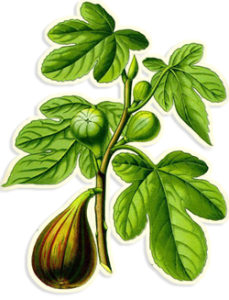 fig-botanical-illustration2