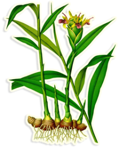 vintage botanical illustration of the ginger plant