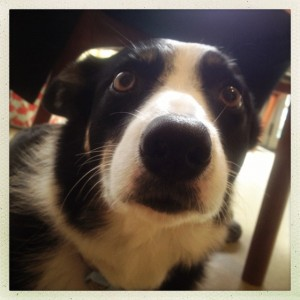 Flo the collie
